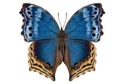 Butterfly species Salamis temora
