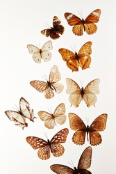 Butterfly specimen on white background