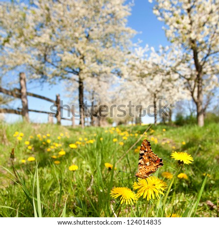 Butterfly spring field. A colorful butterfly in the spring summer grass land with blossoming cherry trees