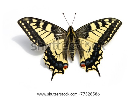butterfly Swallowtail  (Papilio machaon) - stock photo