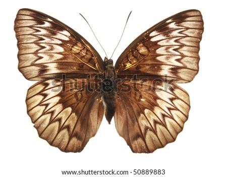 Butterfly (Tanaecia munda waterstradti), male, from Malaysia
