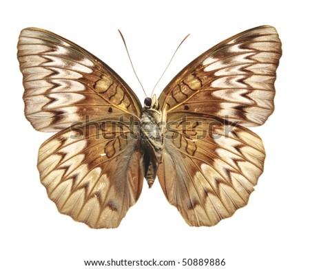 Butterfly (Tanaecia munda waterstradti), male, from Malaysia, underside