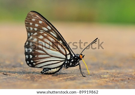 Butterfly thailand