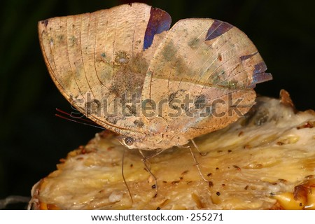 Butterfly That Looks Like Dead Leaf