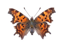 Butterfly - the comma (Polygonia c-album) isolated on white background