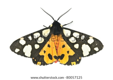 butterfly tiger-moth (Arctia caja). Isolated on white.