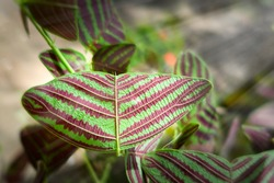 Butterfly tree, Butterfly leaves, Christia obcordata