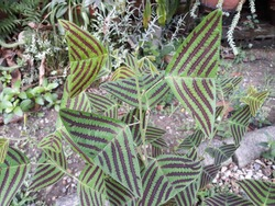 Butterfly tree, Butterfly leaves, Christia obcordata. The Butterfly Hill. (Leaves shape butterfly)