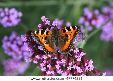 butterfly urticaria-face sits on a purple flower, macro photography