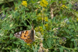 Butterfly Vanessa cardui, known as painted lady with orange-brown shade sitting with half-open wings with back to viewer on meadow stalk on background of blurred  grass and yellow and blue flowers.