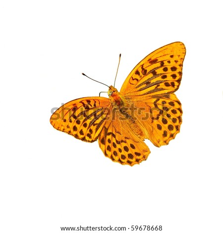 Butterfly , white isolated, (Silver-Washed fritillary)