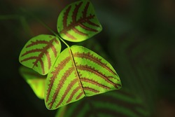 """Butterfly Wing (Christia obcordata) Also known as """"Butterfly Plant"""" because the overall leaf shape resembles a butterfly's wing"""