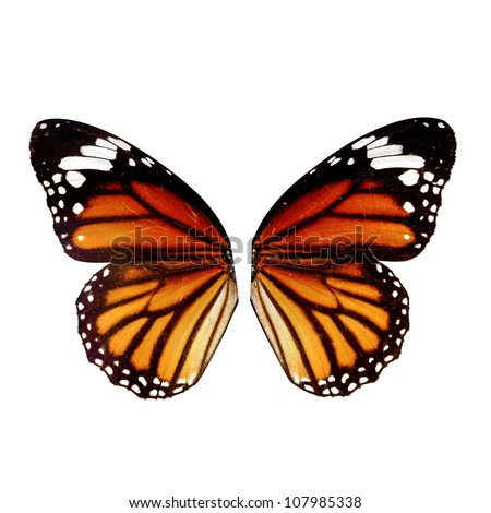 butterfly wing isolated on white background