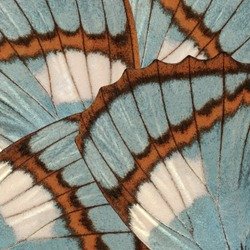 Butterfly wings background with blue and brown textures and details