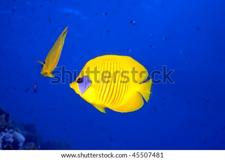 butterflyfish and ocean