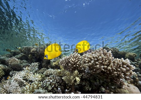 butterflyfish, ocean and coral