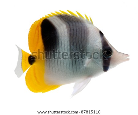 butterflyfish reef fish on white background