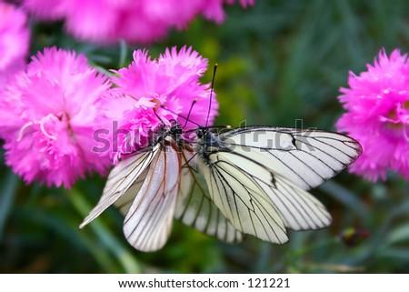 Butterflys on a flower.