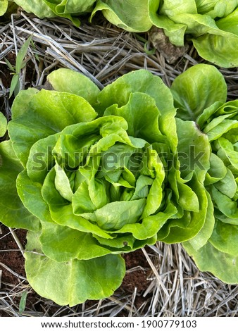 Butterhead Vegetables b u tter Stock fotó ©