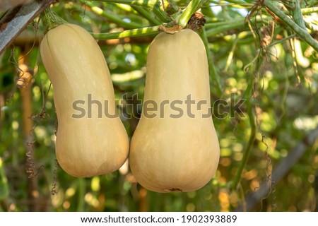 Butternut Squash growing in garden. Organic vegetable farm.  Foto stock ©