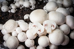 button mushrooms - champignons cultivated on a farm