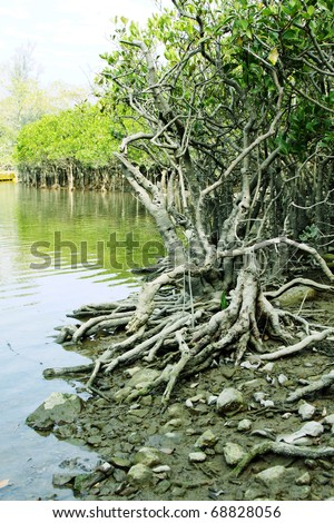 Buttress roots for survival of the mangroves in Hong Kong