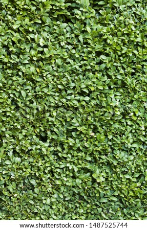 Buxus hedge, green box or boxwood background or texture #1487525744