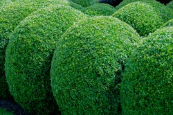 buxus sempervirens hedge.