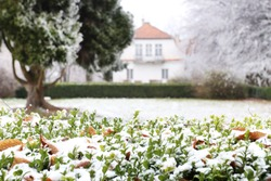 Buxus sempervirens hedge in the garden. Plants covered with snow.