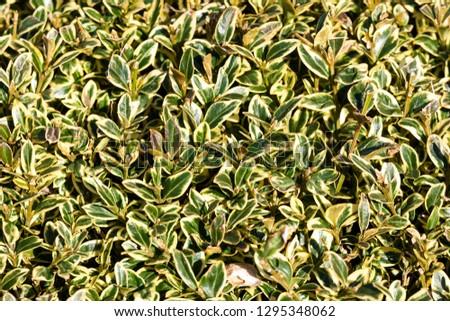 Buxus Sempervirens 'Marginata' in its winter colour which is an evergreen bush known as littleleaf boxwood or boxwood, #1295348062