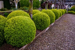 Buxus sempervirens, topiary balls
