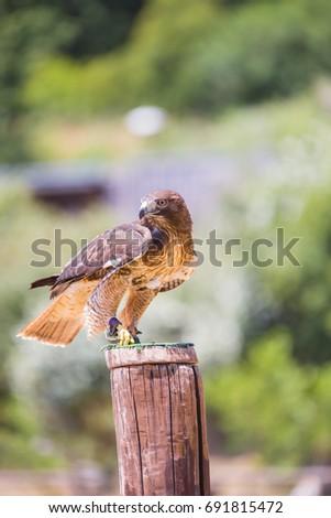 Shutterstock Buzzard - Buteo - Harris's hawk laid over a wooden pole.