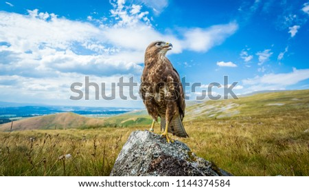 Buzzard, common buzzard, Scientific name: Buteo Buteo, perched on lichen covered rock in the Cumbrian fells, England, UK, Facing right. Panoramic view of the English Lake District, horizontal.
