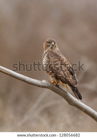 buzzard front of nice background