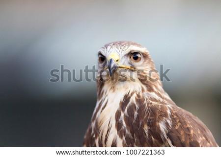 Buzzard portrait looking for prey
