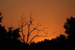 Buzzards roosting in a dead tree at sunset