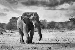 BW photo of majestic African Elephant walking to waterhole in Etosha National Park, Namibia africa safari wildlife