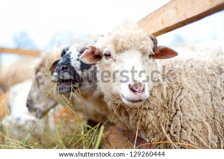 Byre Sheep eating grass and hay with the flock on a rural farm
