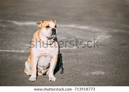 Shutterstock Ca de Bou or Perro de Presa Mallorquin is a typical Molossian dog. Outdoor. Copy space