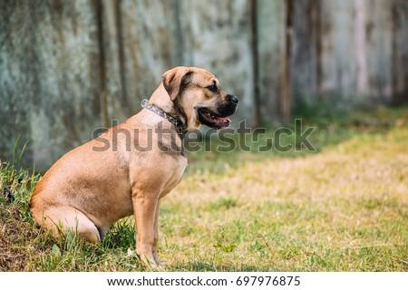 Shutterstock Ca De Bou Or Perro De Presa Mallorquin Puppy Sit Outdoor On Green Grass. Typical Molossian Dog