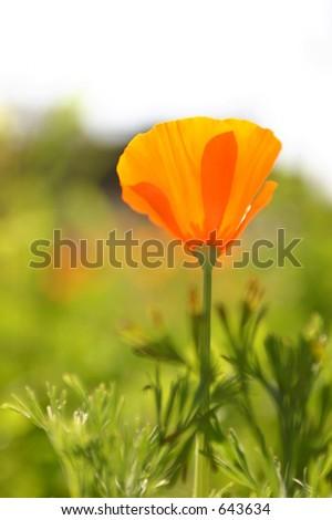 CA Golden Poppy - stock photo