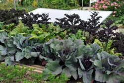 Cabbage and red beet in a vegetable garden in July 2010
