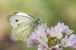 Cabbage butterfly at a pink flower