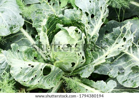 Cabbage damaged by insects pests close-up. Head and leaves of cabbage in hole, eaten by larvae butterflies and caterpillars. Consequences of the invasion butterflies Pieris brassicae. Foto stock ©