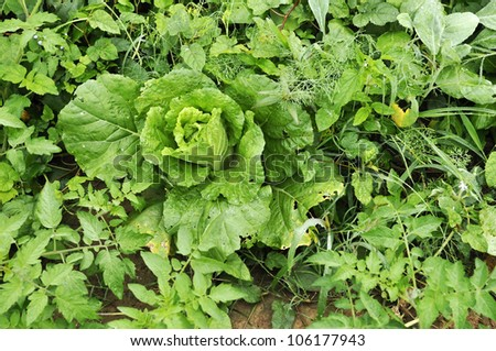 Cabbage Farm Plant Vegetable Field