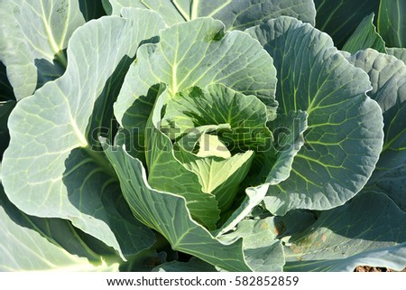 Cabbage field or farm #582852859