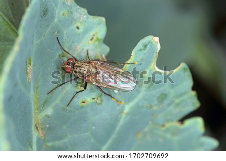 Cabbage fly (also cabbage root fly, root fly or turnip fly) - Delia radicum on the leaf.