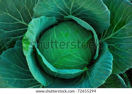Cabbage from top view - stock photo