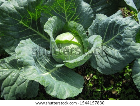 Cabbage grow in the garden. Agriculture. Healthy and healthy food for humans. The cultivation of cabbage. Сток-фото ©
