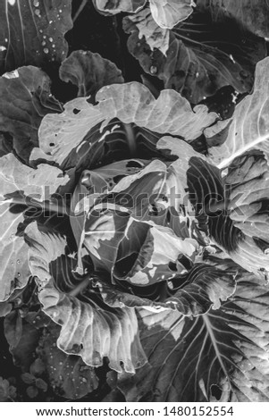 cabbage grows in the garden. the view from the top. the concept of growing organic vegetables in rural areas. #1480152554